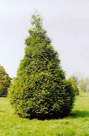 Туя гигантская (Thuja plicata)