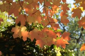 Дерево клен канадский или сахарный