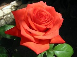Роза саженцы