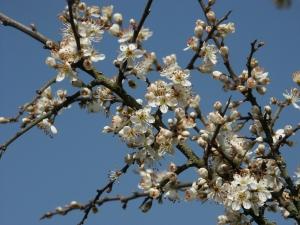 Слива колючая (Prunus spinosa)